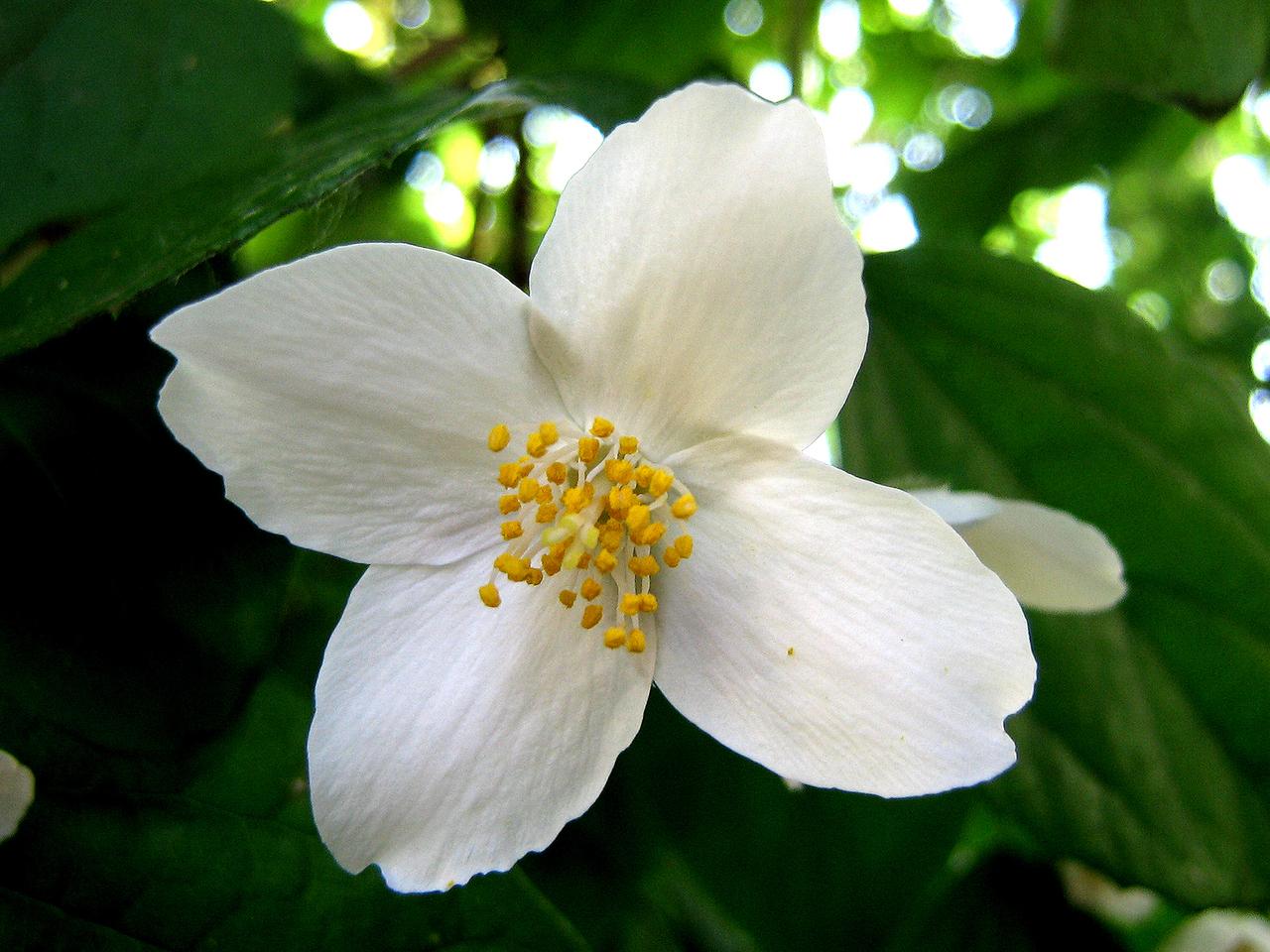 Jasmine absolute jasminum grandiflorum alohatherapy jasminum grandiflorum jasmine jasmine 2 izmirmasajfo