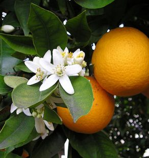 Orange Blossom & Fruit
