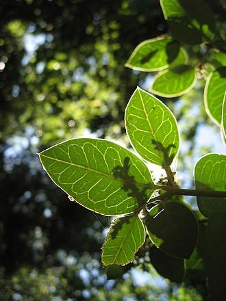Citronella Cymbopogon Winterianus Jewitt Alohatherapy