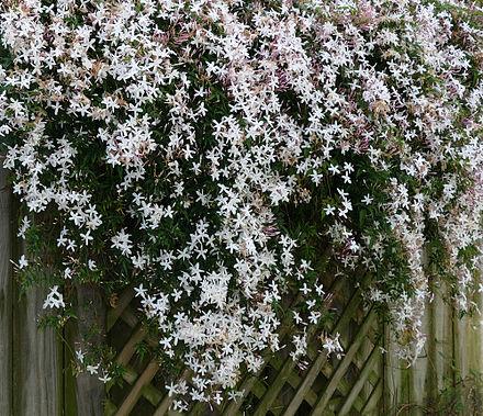 Jasmine Absolute Jasminum Grandiflorum Alohatherapy