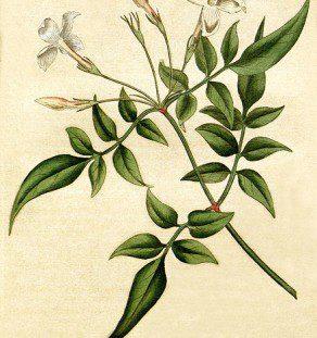 Jasmine botanical