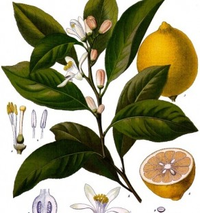 Lemon (botanical)